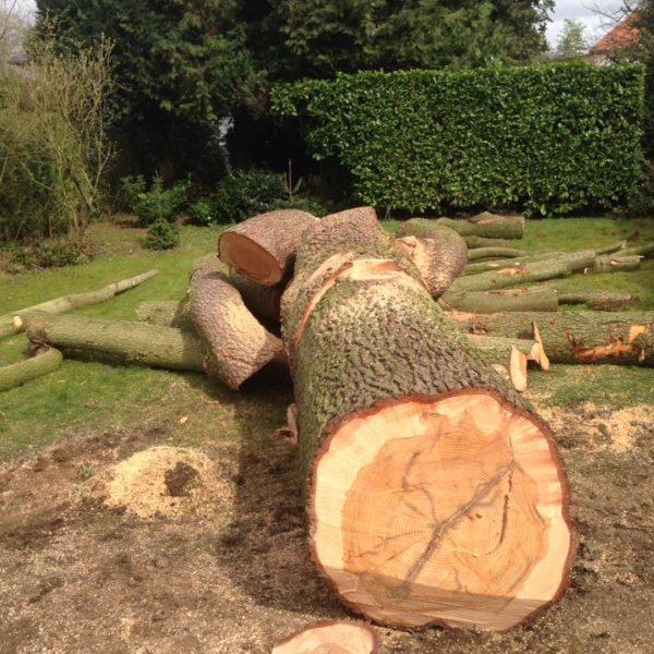 Troncs découpés par un arboriste