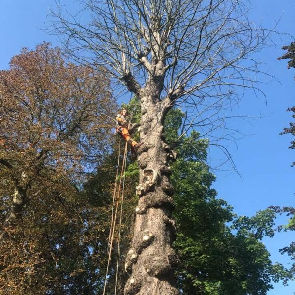 Élagage des branches d'un arbre par un arboriste 2